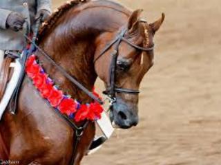 Arabian Horse Show - 5/10 minutes