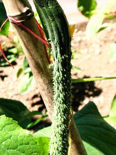 organic vegetable: cucumber