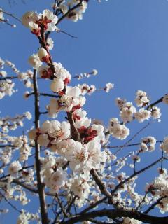 beauty of the Apricot flower( in March only)