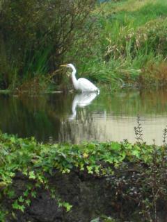 Kotuku (white heron) on Channel.