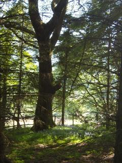 Your own 20 acres of Plantation of Ancient Bluebell Woodland - wonderful to walk, rest and play in