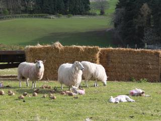 Grazing sheep on the farm