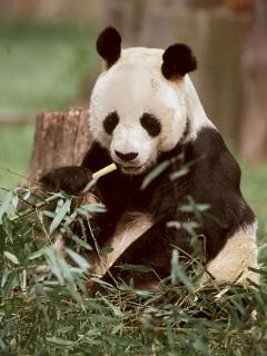 One of the Pandas at Edinburgh Zoo - is it Tian Tian or  Yang Guang I wonder?