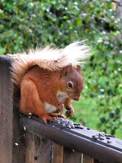 A red squirrel feeds on a Chalet deck.