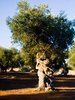 Age-old olive trees