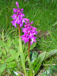spotted leaf orchid in woodland walk at Rigg Bay