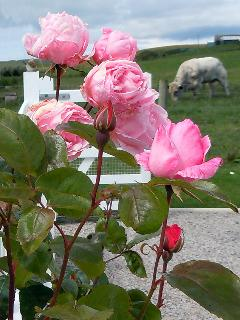Roses outside Kenmuir Cottage