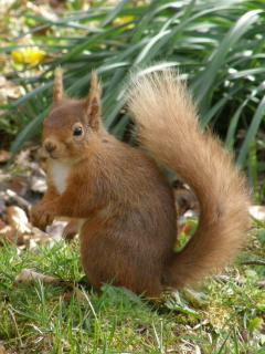 Red Squirrel often seen at Bluefolds and around Glenlivet