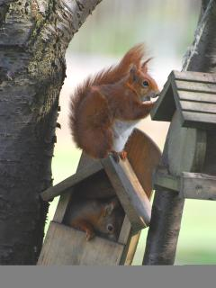 Red squirrels abound here