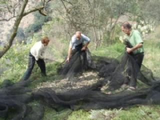 The olive harvest in part of the grounds