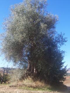 olivo secolare della masseria Gargaleo