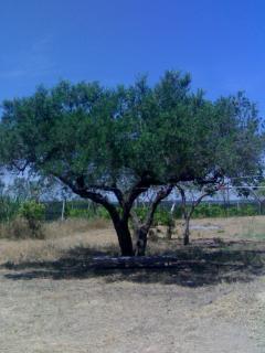 albero secolare d'ulivo  B&B Raffaella