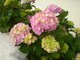 Hydrangeas in full bloom in the front garden
