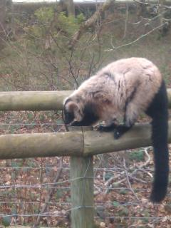 A Lemur Monkey at Monkey World, Wareham