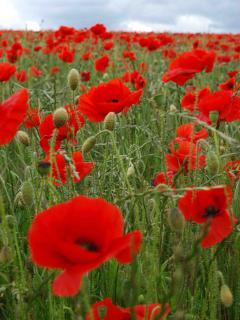 Cotswold Poppy field