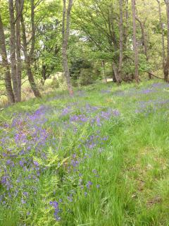 Bluebell walk in the Balure woods.