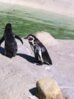 Everyone  love the penguins at Newquay Zoo,  they are so funny !!