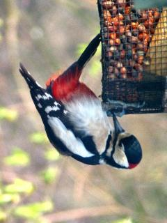 Great Spotted woodpecker on feeder in Clan MacDougall garden