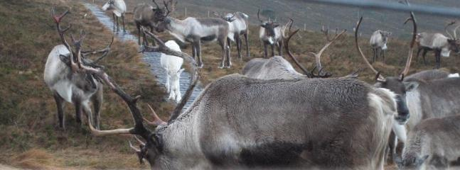 Join the Cairngorm Reindeer crew for a walk, feed the reindeer and learn all about them.