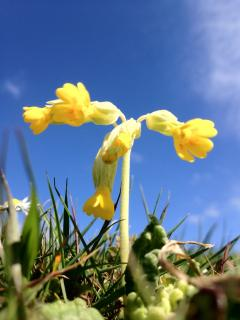 Springtime cowslips in the wild flower meadow which can be seen from the Hayloft kitchen window.