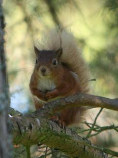One of the adorable 'resident' red squirrels.