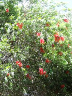 When in blossom - our bottle brush tree by the casita is alive with hummingbirds