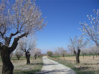 Almond Blossom in Spring on the Entrance to Gor