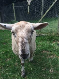 This is Perky , he is a very friendly sheep who enjoys a good scratching if you would be so kind.