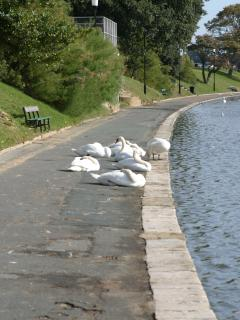 Swans by the boating lake.