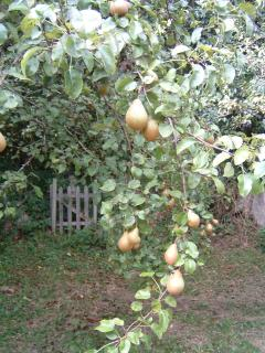 pear tree in the orchard