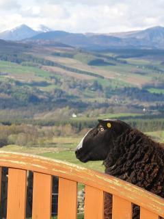 Sheep at Errichel