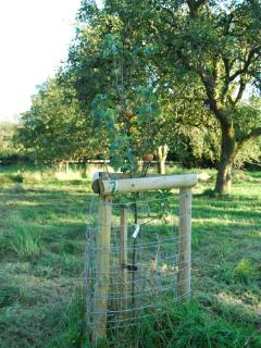 One of the new fruit trees in the orchard.  The guards are to stop the deer damaging the trees