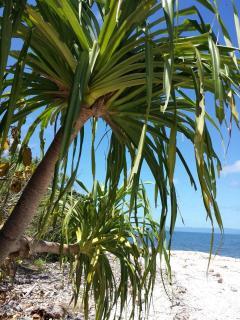Pandanus Tree at Local beach