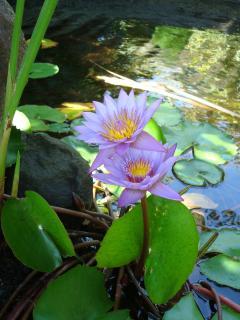 nénuphar du bassin à poissons avec cascade  dans le jardin
