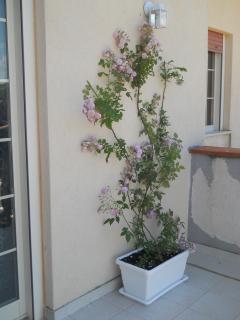 fioritura di rose in maggio