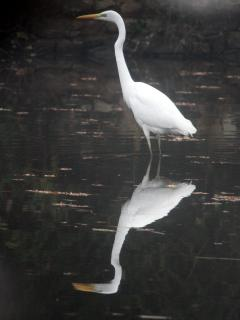Large Egret in the Lake