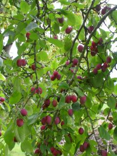 Beautiful ripe plums from the orchard