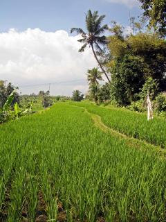Rice terraces next to Villa Abadi