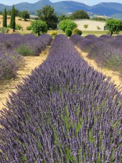 One of the lavender fields nearby