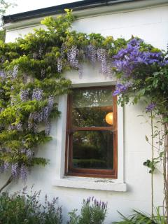 Wisteria on front of cottage
