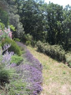 Lavender garden with woods to the left. Panoramic path to pool.