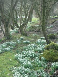 Some of the thousands of snowdrops at Rowdale, here lining a pathway round the wildlife pond