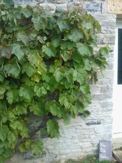 Grapevine outside the Old Dairy