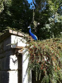 Peacock in the garden near the cottage