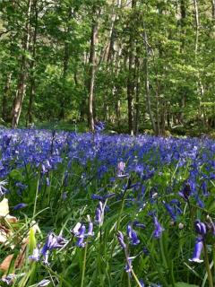 Bluebells in the woods at Curwen Woods