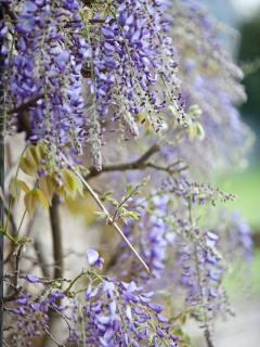 Wisteria on the cottage wall