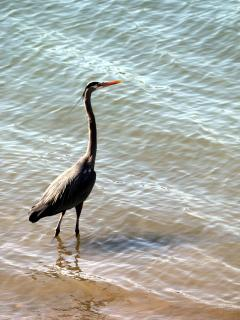 Great Blue heron by dock