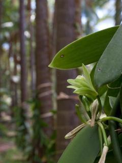 Fleur de vanille (Possibilité de les féconder selon la saison)