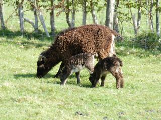 Soay sheep with twin lambs