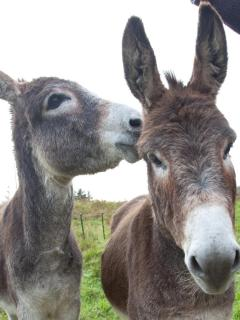 Gilbert and George love ear rubs and carrots...
